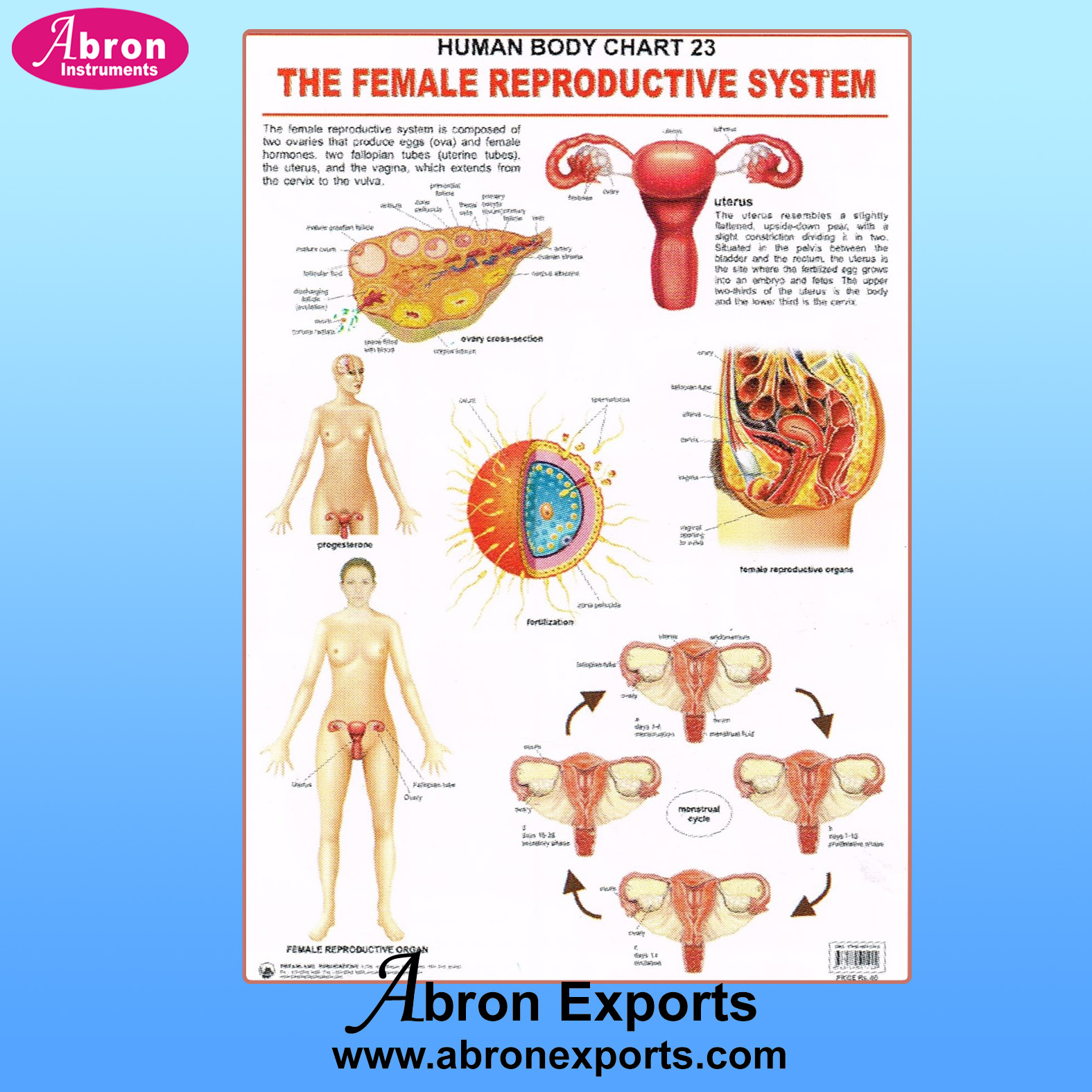 Chart Polyart Human Embryology female reproductive, genital urino, endocrine embryology systems set of 4 size 75x100cm 30x40inch with roller Abron ACPHK02