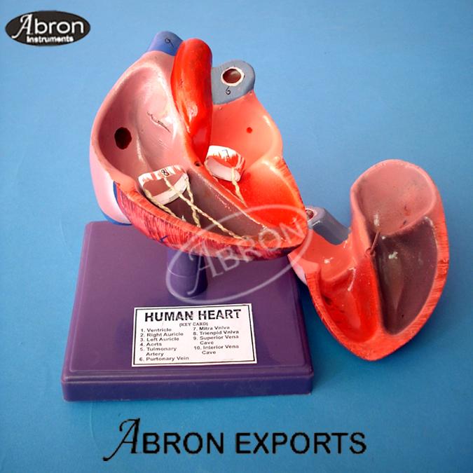Model Human Heart Part Human Model Fibre Glass  AB-112