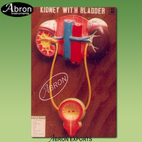 Kidney with bladder ..