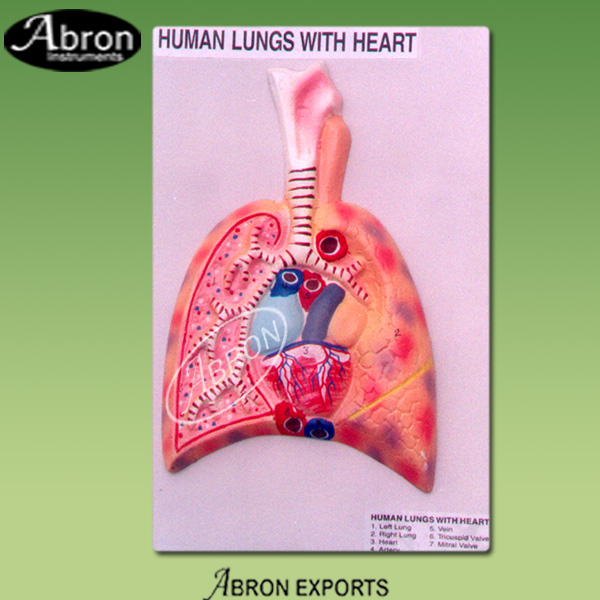 Lungs with heart hum..