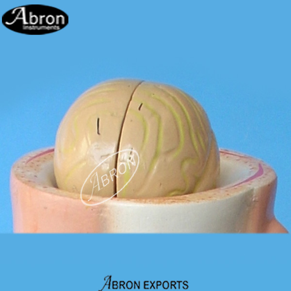 Model Human Skull & Brain Human Model Fibre Glass