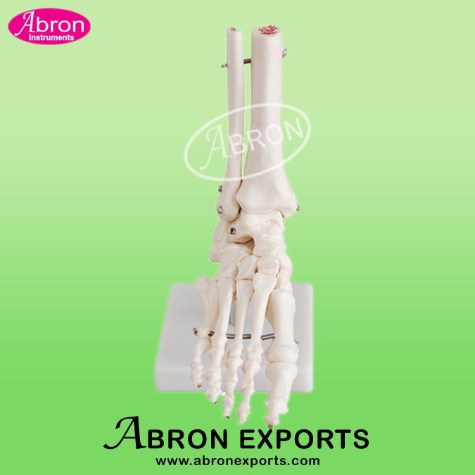 Model Human Foot Joint Life Size Human Model XC-113
