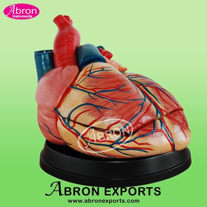 Model Human Heart Jumbo Human Model XC-307