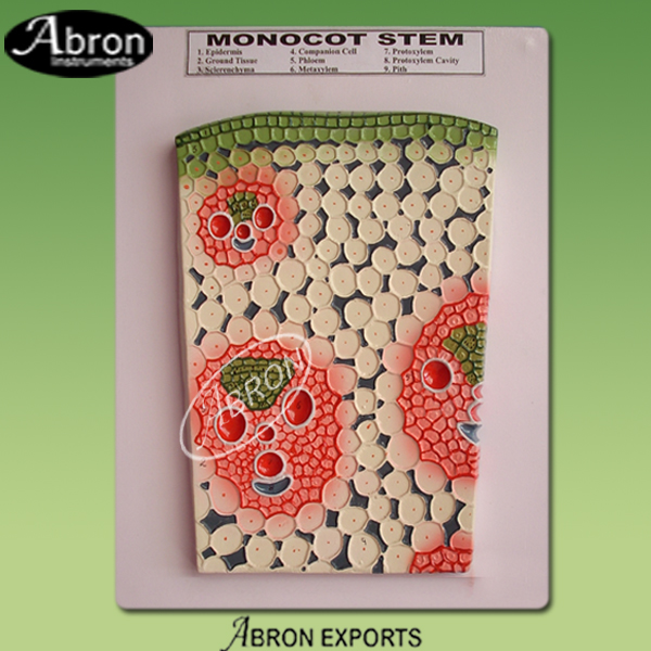 Monocot stem ts plan..