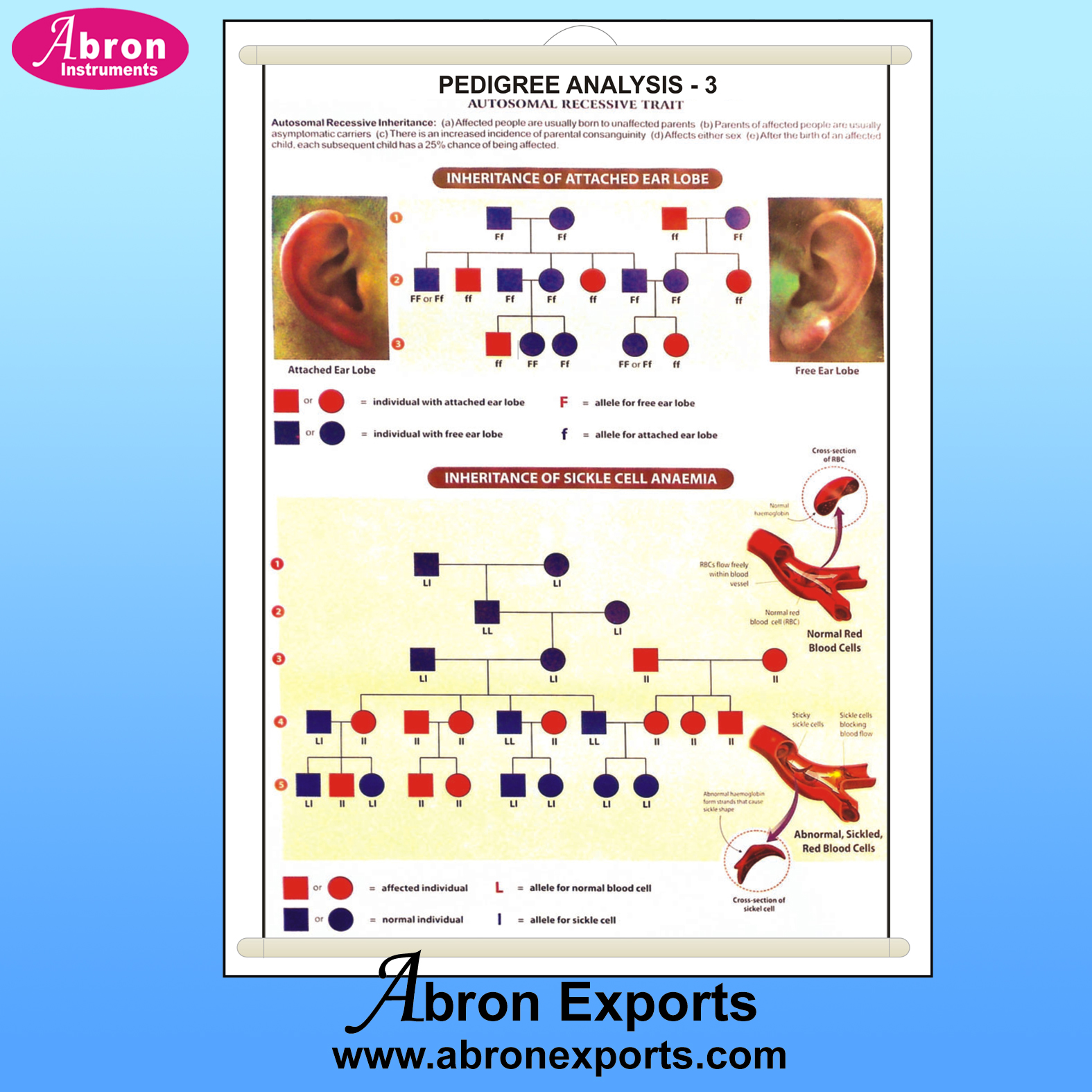 Chart pedigree analysis 3 gertics ear lobe shape sickle cell & evolution 75x100cm with roller abron AB-202PA3