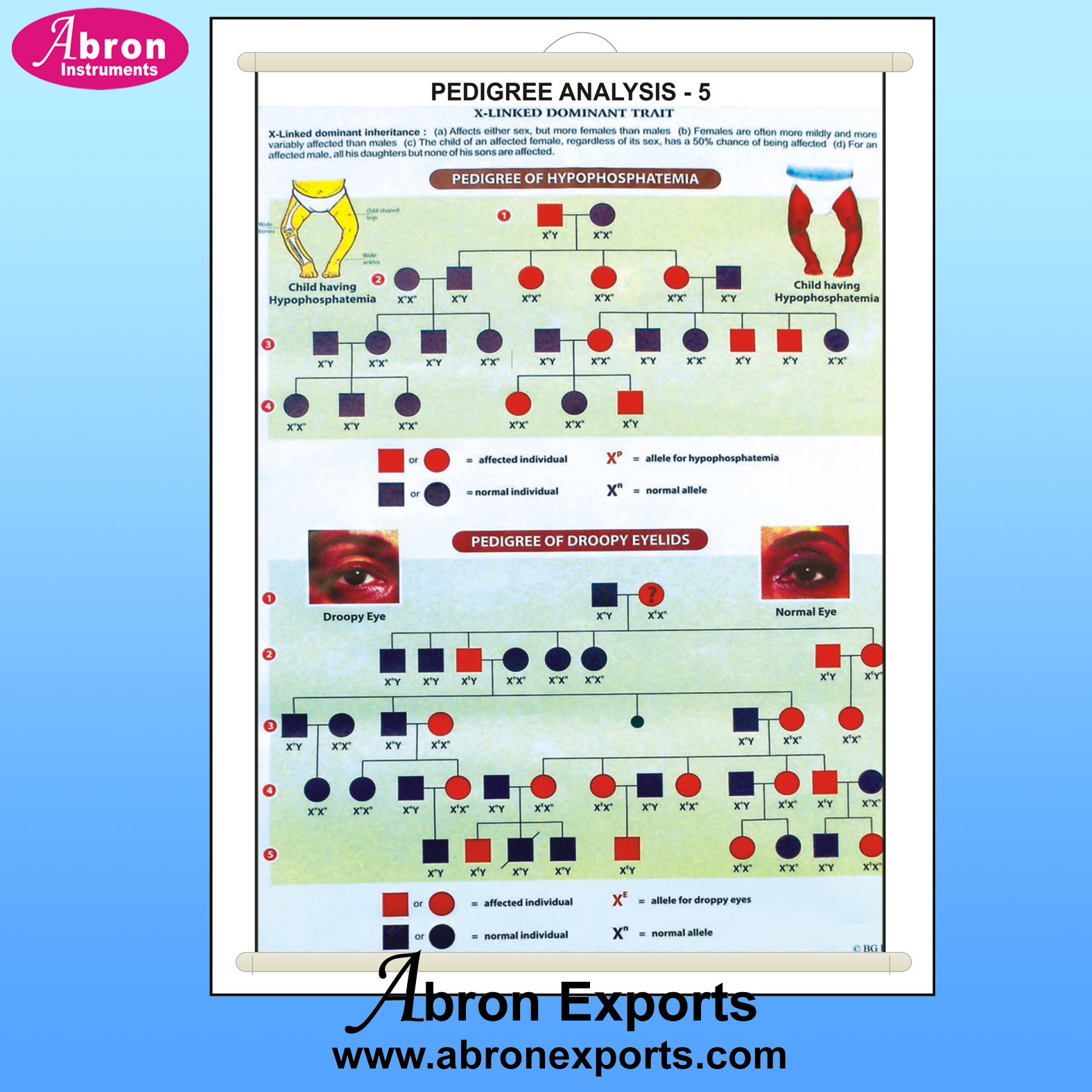 Chart pedigree analysis 5 gertics & evolution skin color eye shape color 75x100cm with roller abron AB-202PA5