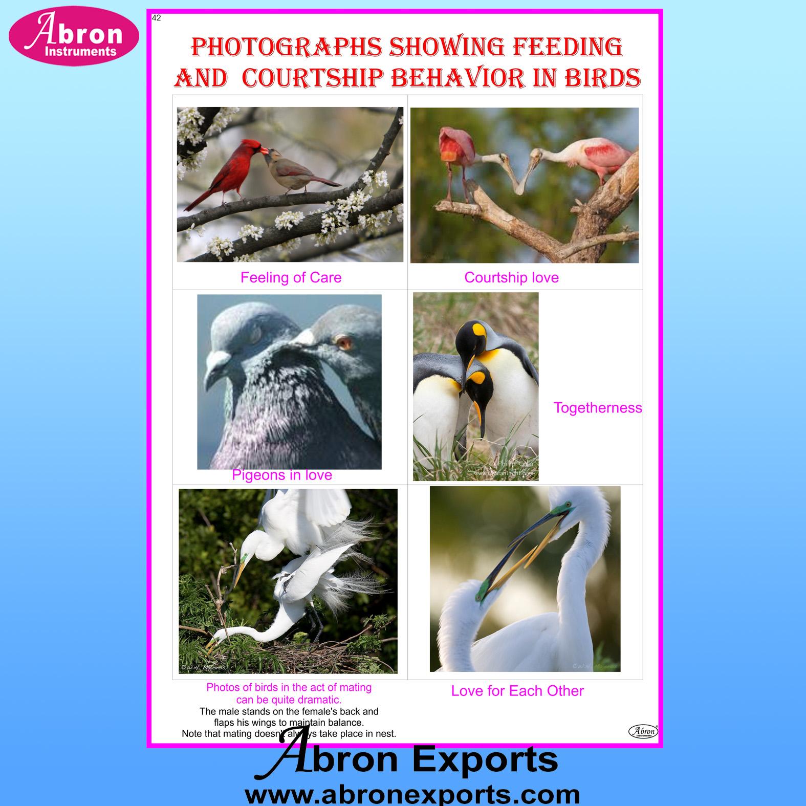 Chart Laminated Birds Feeding & Courtship Behavior in Birds