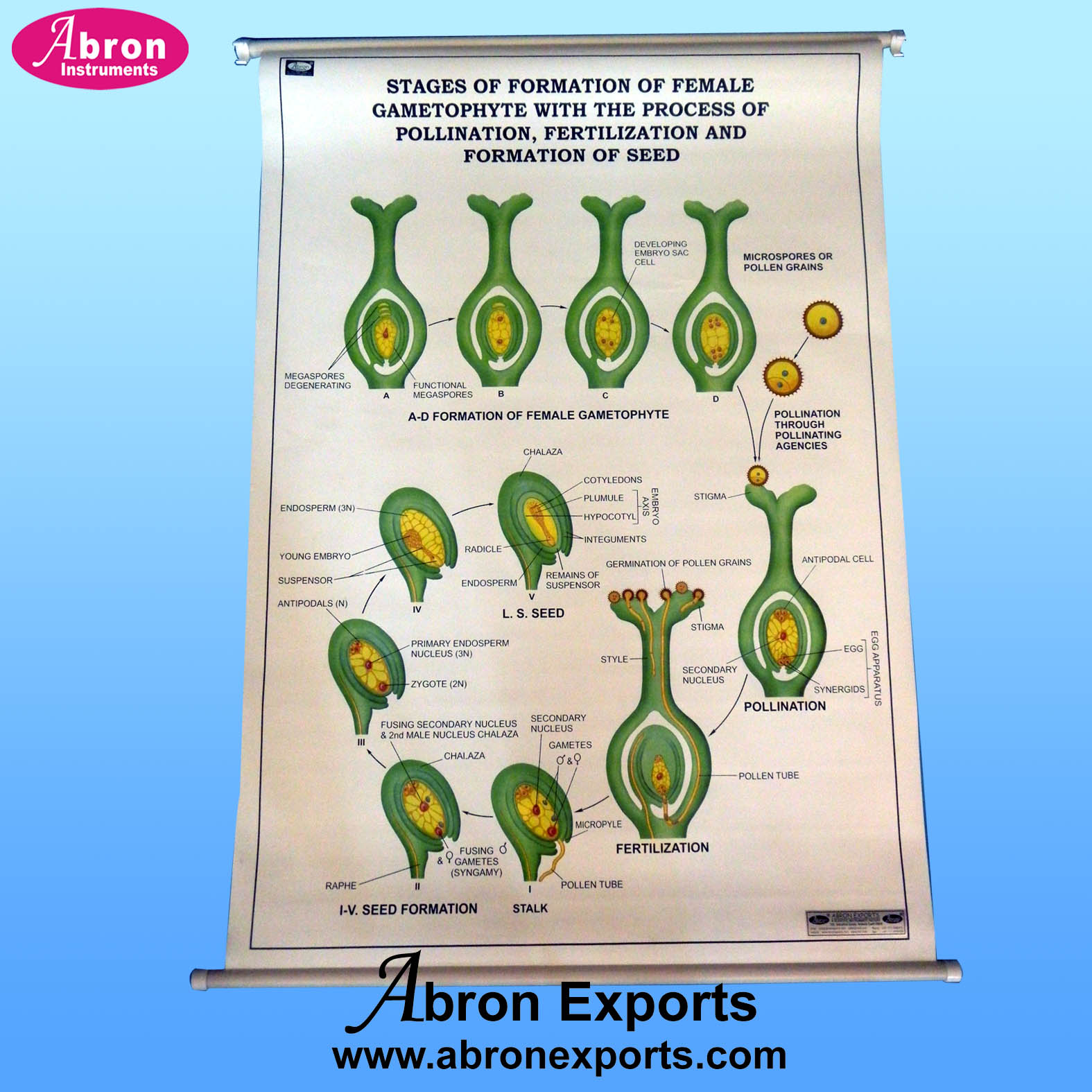 Chart Polyart Botany Plant cell, classification, bacteria, algae, fungi, DNA Spyrogyra, mitosis meiosis root stem leaf with roller set of 15 size 75x100cm ( 30x40inch) Abron ACPB-15K